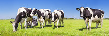 Cows In A Fresh Grassy Field O...