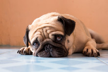 A Cute Pug Dog With A Sad, Fat...