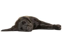 Cute Sleeping Black Labrador Retriever Puppy Dog On A White Background