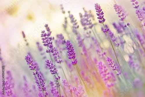 Fototapeta Beutiful lavender obraz na płótnie