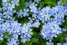 Beautiful Delicate Blue Jasmin In Garden