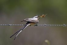 Male Scissor-tailed Flycatcher (Tyrannus Forficatus) Eating A Locust - Texas