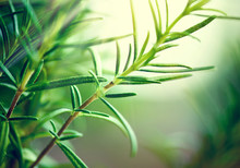Close-up Of Fresh Rosemary Leaves. Green Flavoring