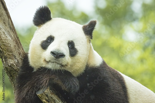 Panda Portrait Canvas Print