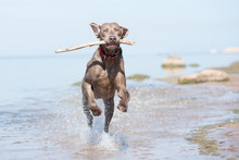 Happy Weimaraner Dog Running On The Beach With A Stick In His Mouth