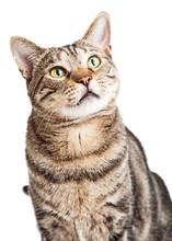 Cat Closeup Looking Up