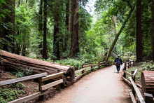 Inbetween Lines - A Man Walking Along A Path In Muir Woods, California. A Large Redwood Tree Has Fallen And The Path Runs Between The Lines.