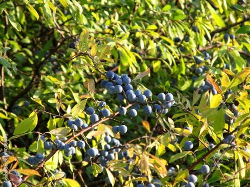 Valokuva  Sloe Branch