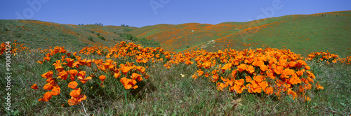 Poppies and Wildflowers, Antelope Valley, California - 90085124