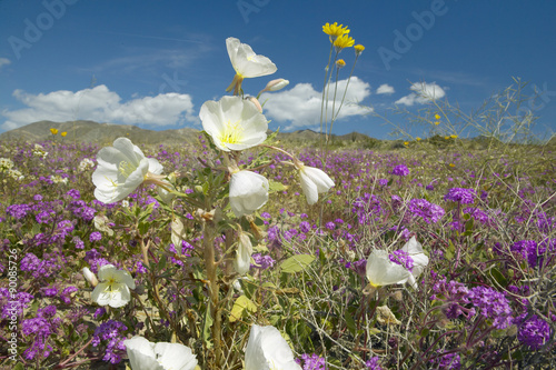 Fotografia, Obraz  Desert lilies and white flowers blossoming with white puffy clouds in Anza-Borre