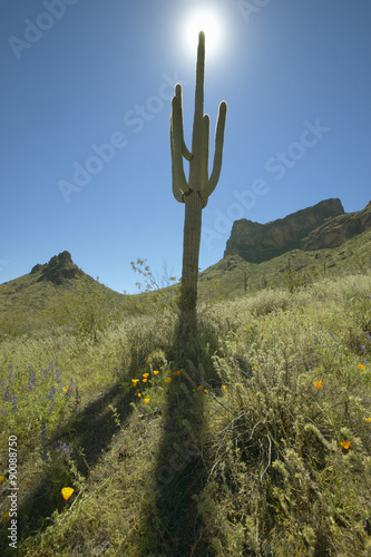 Fotografia, Obraz  View towards sun of a saguaro cactus and hillside mountains in spring bloom with