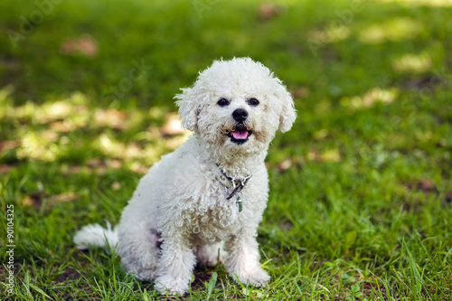 Fotografie, Obraz  bichon in the park