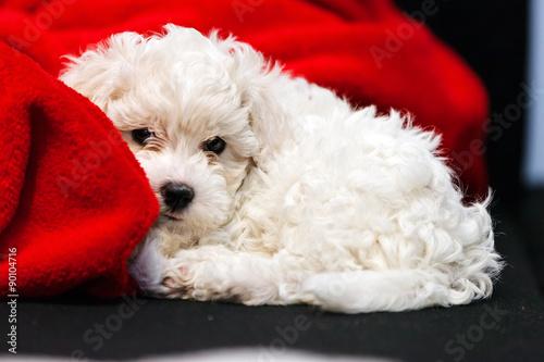 Fotografie, Obraz  bichon frise puppy