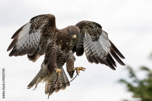 Photo  Common Buzzard in flight with white background