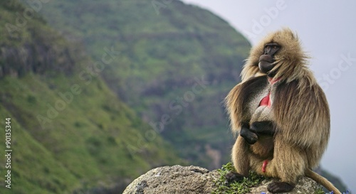 Foto op Aluminium Aap A lone gelada baboon perched high in the Simien Mountains in Ethiopia.