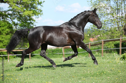 obraz dibond Amazing black dutch warmblood running