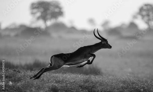 Poster Antilope Antelope running across the savannah! Botswana. Africa.