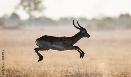 Antelope running across the savannah! Botswana. Africa.
