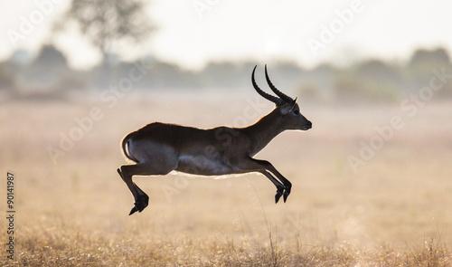 Antelope running across the savannah! Botswana. Africa.