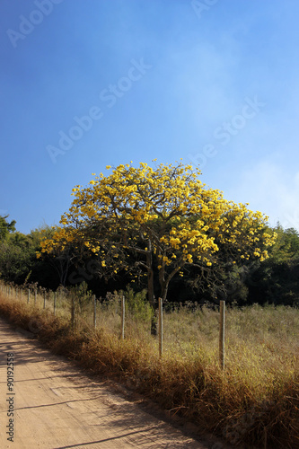 Deurstickers Surrealisme Flowery yellow ipe tree on the road