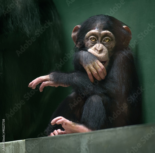 Baby chimpanzee looking in camera Canvas Print