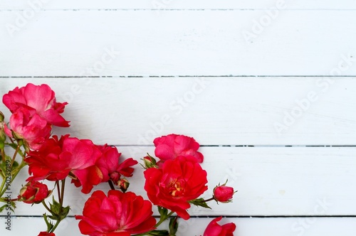 Foto-Plissee - wild red roses laying on pale blue wooden floorboards, copy space , shabby chic , natural border  (von elm98)