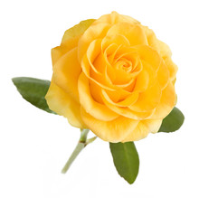 Yellow Rose With Leaves Isolat...
