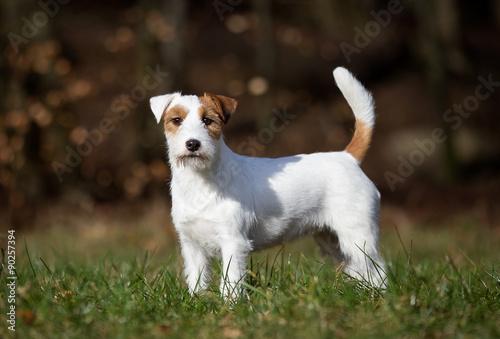 Fotografie, Obraz  Purebred Jack Russell Terrier dog