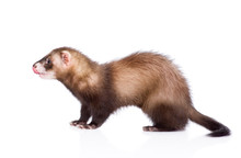 Ferret Standing In Profile. Is...