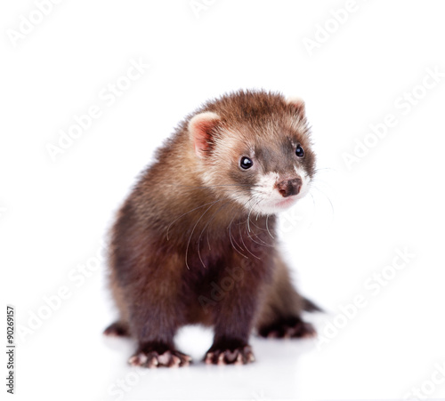ferret in front. isolated on white background Fototapeta