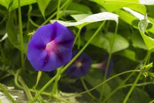 Purple Morning Glories Growing On Vine