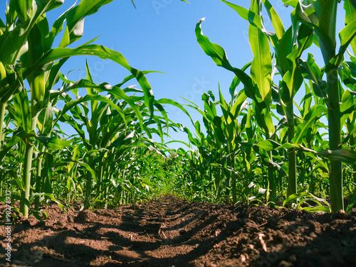 Fotografía  Corn plantation rows. Worm's view