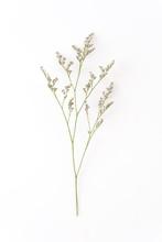 Caspia For Filler Flowers On White Background