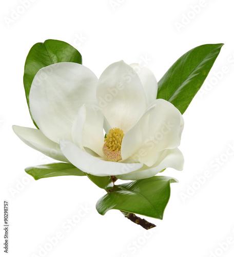 Wall Murals Magnolia White magnolia