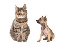 Tabby Cat Sitting And Sitting Chihuahua Puppy Dog Looking At The Cat Isolated On A White Floor