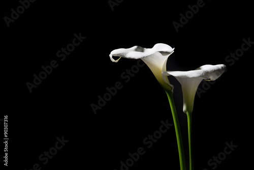Photo Two blooming calla lilies on a black background