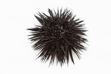 Purple Sea Urchin From Adritic...