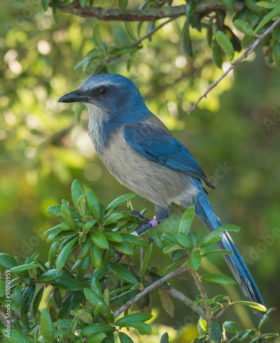 Photo Stands Roe Florida Scrub-jay