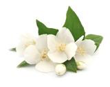 Fototapeta Kwiaty - White flowers of jasmine