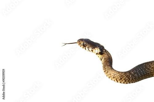 Fotografía  grass snake isolated on white