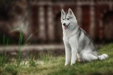 A Husky Wolf Dog Portrait