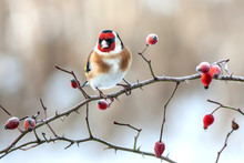 European Goldfinch With Frozen Red Rose Hips.