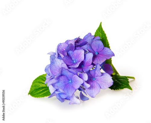 Deurstickers Hydrangea Blue Hydrangea.