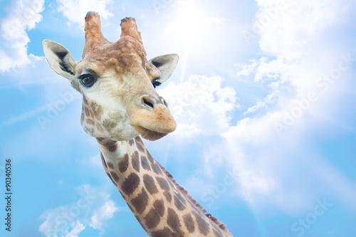 Poster Giraffe head of nice giraffe against sky