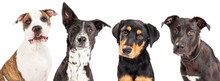 Four Mixed Breed Dogs Closeup