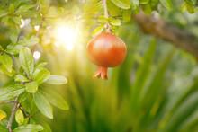 Ripe Pomegranate Fruit.