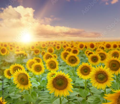 Fototapeta Field of blooming sunflowers. obraz na płótnie