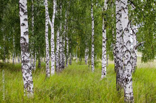 Papiers peints Bosquet de bouleaux Birches, Birch grove in the summer