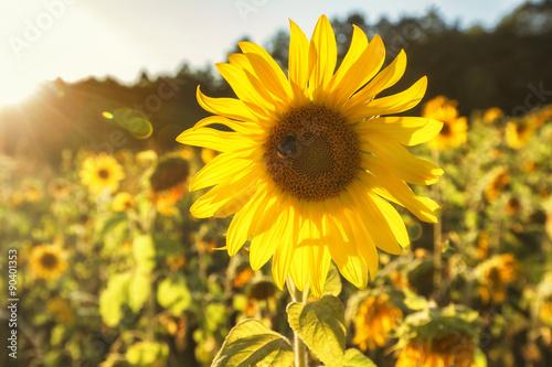 Fotobehang Bloemen Sunflower field