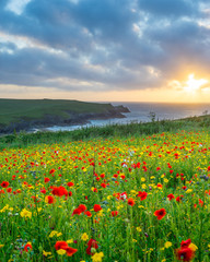Fototapeta Wild flowers at Porth Joke Cornwall